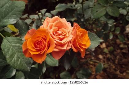 Dalat garden, Dalat city/ VietNam-10/7/2018: Close-up of rose plant