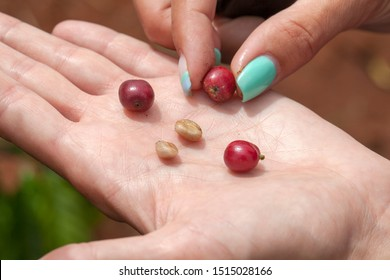 Dalat, Lamdong Province, coffee plantations of the central vietnam, red grains and peeled coffee grains on a female palm