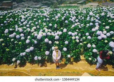Dalat, Vietnam - Feb 18, 2017 - Hydrangea flowers are blooming in Dalat garden, Lam Dong farm, Vietnam