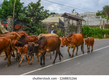 Dalat, Vietnam - Nov 12, 2018. Group of cow are walking on the road. Dalat is located 1,500 m above sea level in the Central Highlands region.