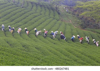 Dalat, Vietnam, September 7, 2016: A group of farmers picking tea on a summer afternoon in Cau Dat tea plantation, Da lat, Vietnam