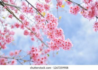Dali University Winter Cherry Blossoms. Wild himalayan cherry blossom against blue sky