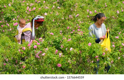 Dali, Yunnan, China. 04-26-2016.Bai women working in a roses field. Bai people are en ethnic minority in Yunnan, China. Roses are used as a typical  food ingredient in this area.
