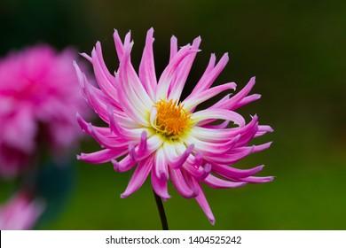DALIA FLOWER IN THE GARDEN