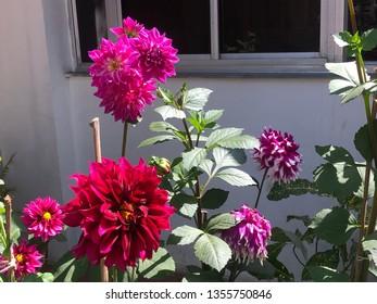 Daliya plant at garden