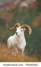 A Dall sheep in the Alaska Range