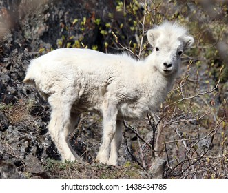 Dall sheep baby left by mom