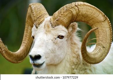 Dall Sheep Closeup / The Dall Sheep, Ovis Dalli, is a Species of Sheep Native to Northwestern North America Included South Dakota, Wyoming, Colorado, Idaho, Montana. Dalls Sheep Big Horns