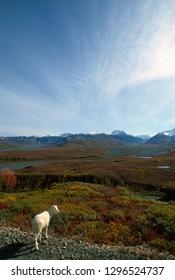 Dall Sheep Denali National Park Alaska