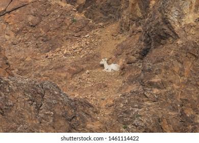 Dall Sheep of the Denali National Park Alaska
