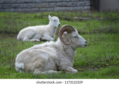 Dall sheep in the grass