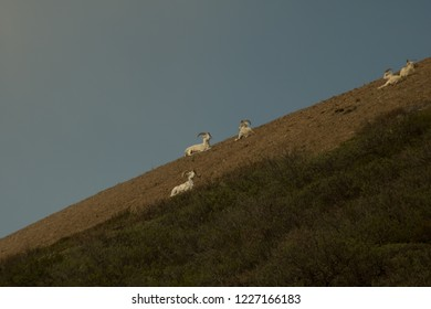 Dall sheep grazing on a hill in Denali National Park Alaska