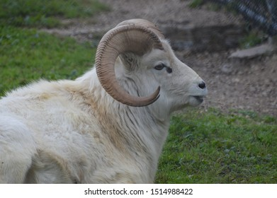 Dall sheep laying on the grass