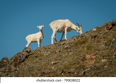 Dall sheep mother with baby in Kluane NP, Yukon, Canada