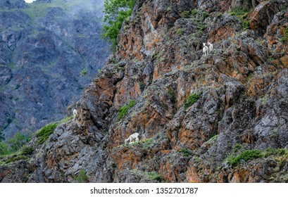 Dall  Sheep on the side of the Chugach Mountain Range in Anchorage Alaska
