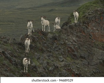 Dall Sheep (Orvis dalli) take refuge on Marmot Rock high above the East Fork River and valley, Denali National Park, ALaska.