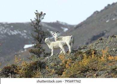 Dall Sheep (Orvis dalli)Sheep Mounten Alaska