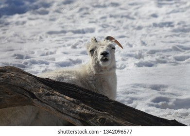 Dall sheep in the outdoors