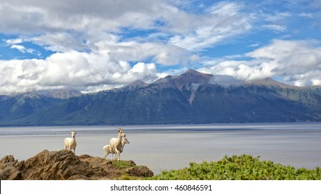 Dall Sheep overlook Tunragain Arm near Anchorage Alaska.