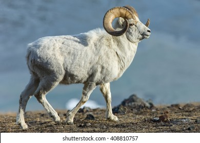 Dall Sheep (Ovis dalli) rams runs on the rocky slopes through the mountains in Kluane National Park in the Yukon in Canada