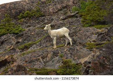 Dall Sheep. Ovis dalli. Turnagain Arm, Alaska. June 24, 2017. Call Sheep. Ovis dalli