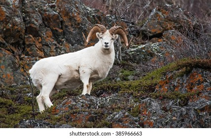 Dall sheep ram on the cliffs