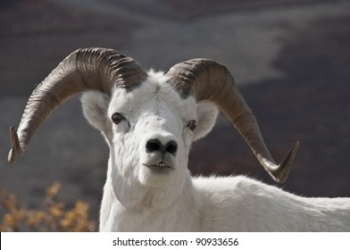 Dall Sheep Ram (Ovis dalli) is the animal that Denali National Park was created to protect. Alaska.