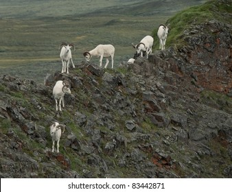 Dall Sheep rams Denali National Park, Alaska