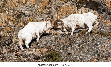 Dall Sheep Rams fighting during the rut
