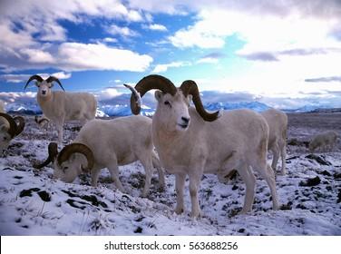 Dall sheep rams in snow, (Ovis dalli), Alaska, Denali National Park