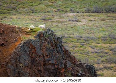Dall sheep relax high upon a cliff in Denali National Park in Alaska.