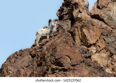 The dall sheep stands on high rock formation in Denali National Park in Alaska.