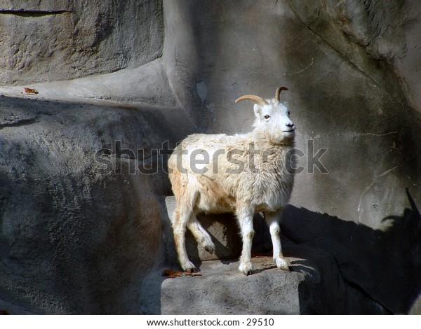 dall sheep at the zoo