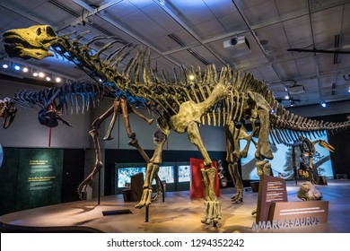 DALLAS, TEXAS/USA - OCTOBER 19, 2018: Skelton of Amargasaurus in the Ultimate Dinosaurs traveling exhibition at the Perot Museum of Nature and Science in Dallas