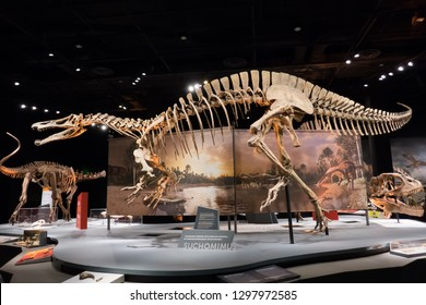 DALLAS, TEXAS/USA - OCTOBER 19, 2018: Suchomimus dinosaur skeleton in the Ultimate Dinosaurs traveling exhibition at the Perot Museum of Nature and Science in Dallas