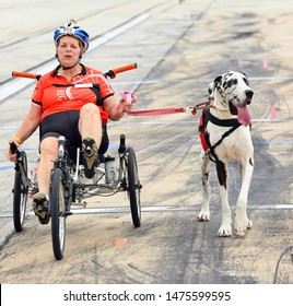 Dallas,Texas 6-20-2015  Giant  Dalmation dog being walked at a charity diabetes ride along event.