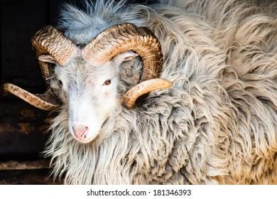 Dalls Sheep Big Horns