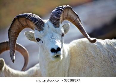 Dall's sheep face in Denali national Park Alaska