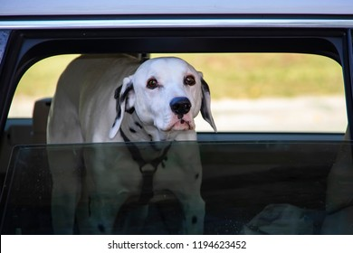 Dalmanation dog looking out of window of car