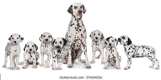 Dalmatian adult dog with puppies