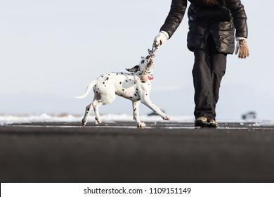 Dalmatian Aida, outdoor lover - Shutterstock ID 1109151149
