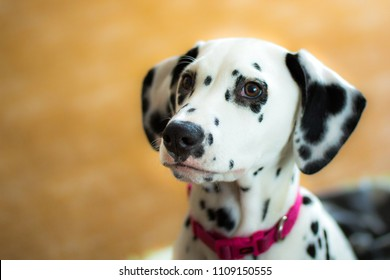 Dalmatian Aida, puppy, home lover