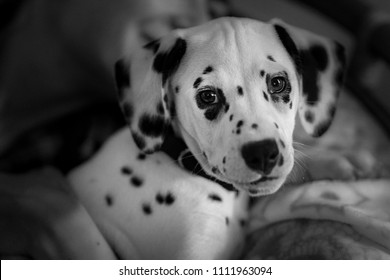 Dalmatian Aida puppy look