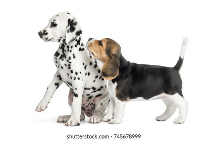 Dalmatian and Beagle puppies playing, isolated on white