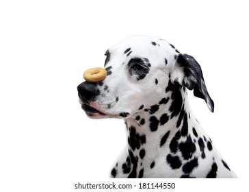 dalmatian dog with a bagel on a nose