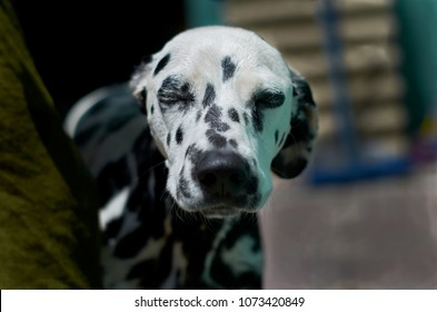 a Dalmatian dog bathing