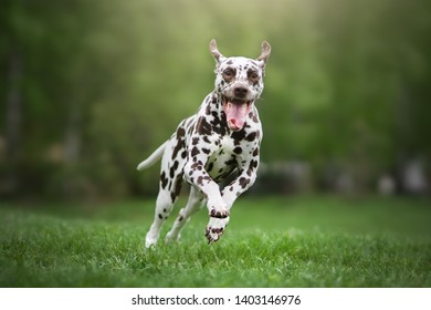 Dalmatian dog. Beautiful spring photo