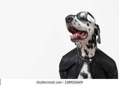 Dalmatian dog dressed up in black jacket with dark sunglasses isolated on white background. Rocker dog. Сool biker dog. Copy space