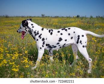 Dalmatian dog in a field
