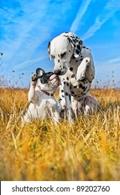 Dalmatian dog and french bulldogs playing